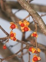 Oriental bittersweet (Celastrus orbiculata)