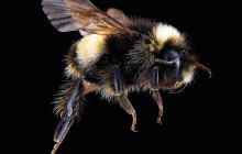 Vermont's bumble bee populations declining