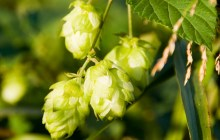 UVM wins grant to help improve production of hops