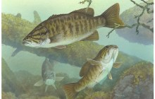 Scientists say 60 percent of male Missisquoi fish bear eggs