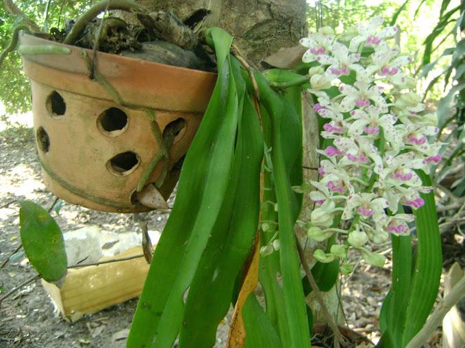 cách trồng lan ngọc điểm rừng
