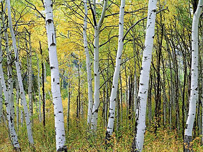 Birch Tree Fall Wallpaper Close Up Wyoming Weekend Quick Trips Aspen Alley