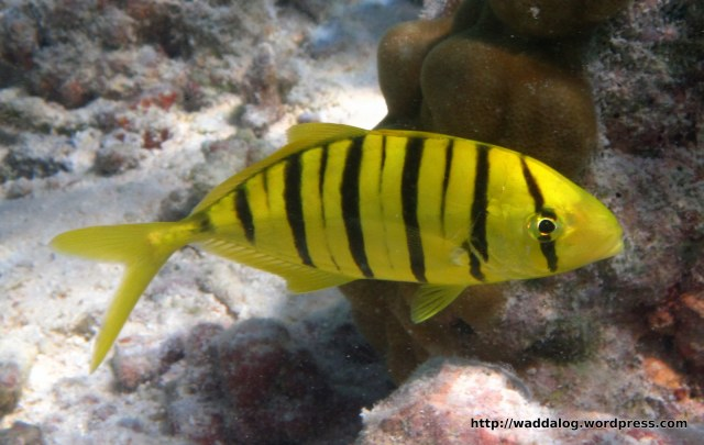 Tiger fish: black and yellow stripe