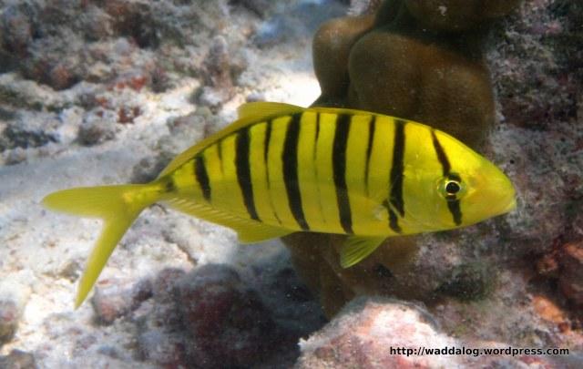 Tiger fish: black and yellow stripe