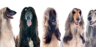 Afgahan hounds