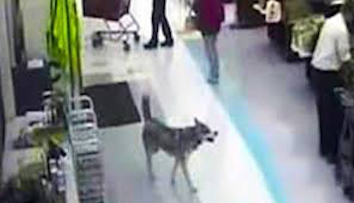 Husky Store Husky Caught On Security Cameras Stealing Her Own Christmas