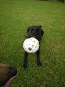 Molly - gorgeous black lab, regular doggy day care visitor