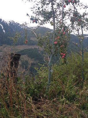 Sepp Holzer's seedling apple tree.
