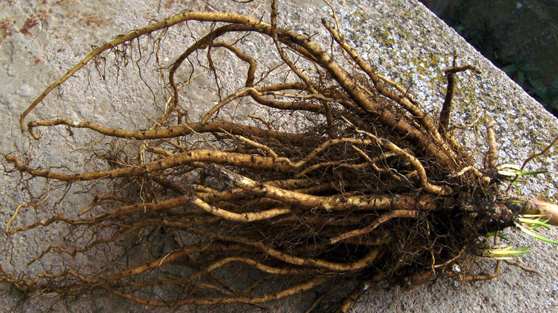 Marshmallow roots from a cultivated Althaea officinalis plant, used The root was used in the Middle Ages for sore throat.