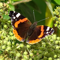 red_admiral_butterfly2