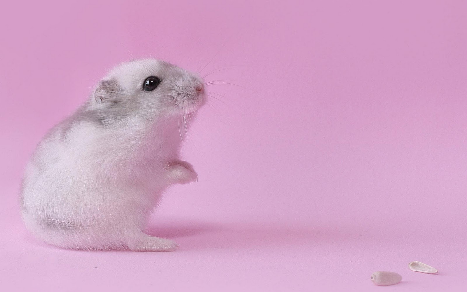 Cute Love Hd Wallpapers For Mobile Phones Hamster Pink Wallpaper Photos 10646 Wallpaper Cool