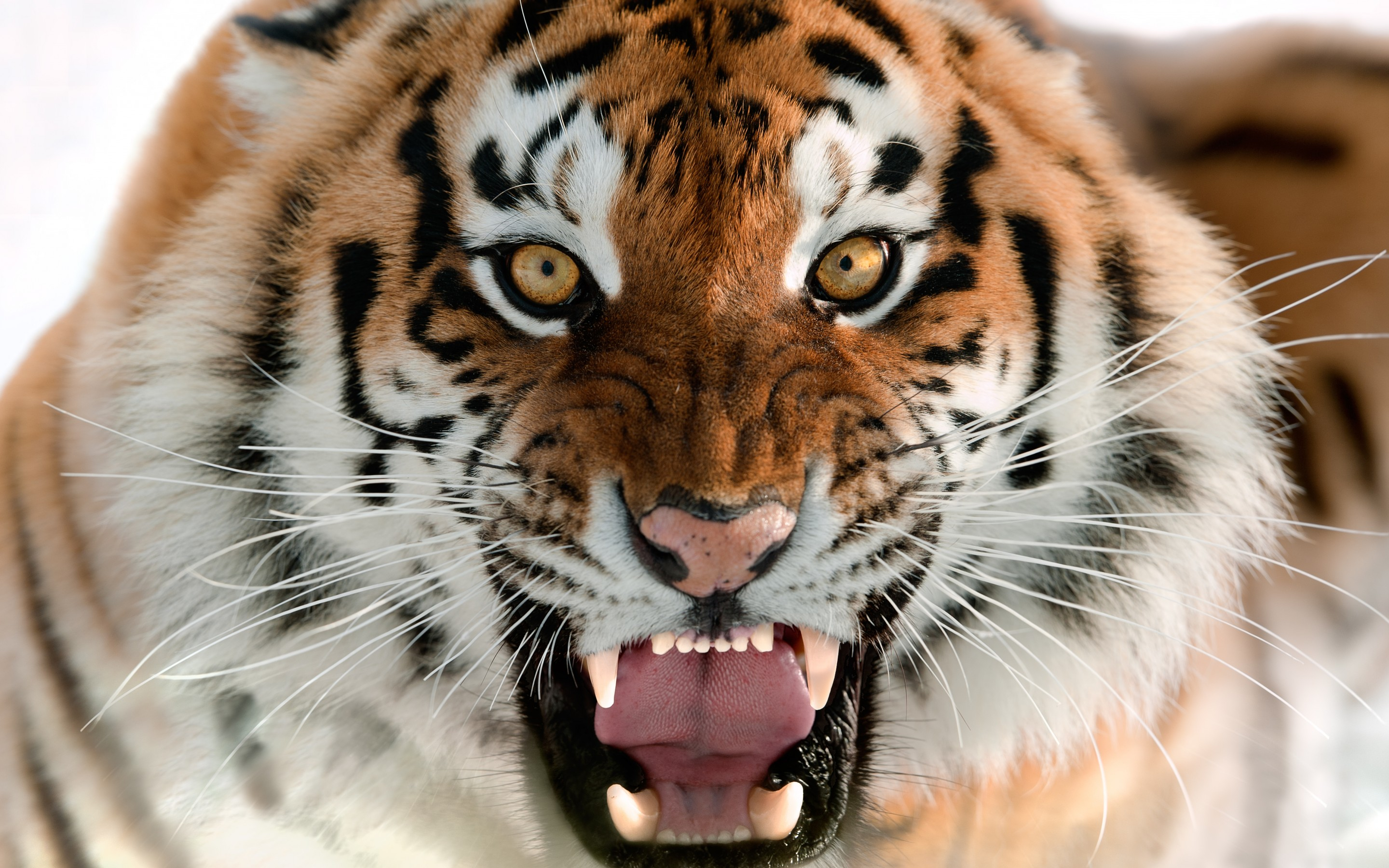 Latest Cute Wallpapers For Mobile Tiger Wallpaper Screensaver Animals 10872 Wallpaper