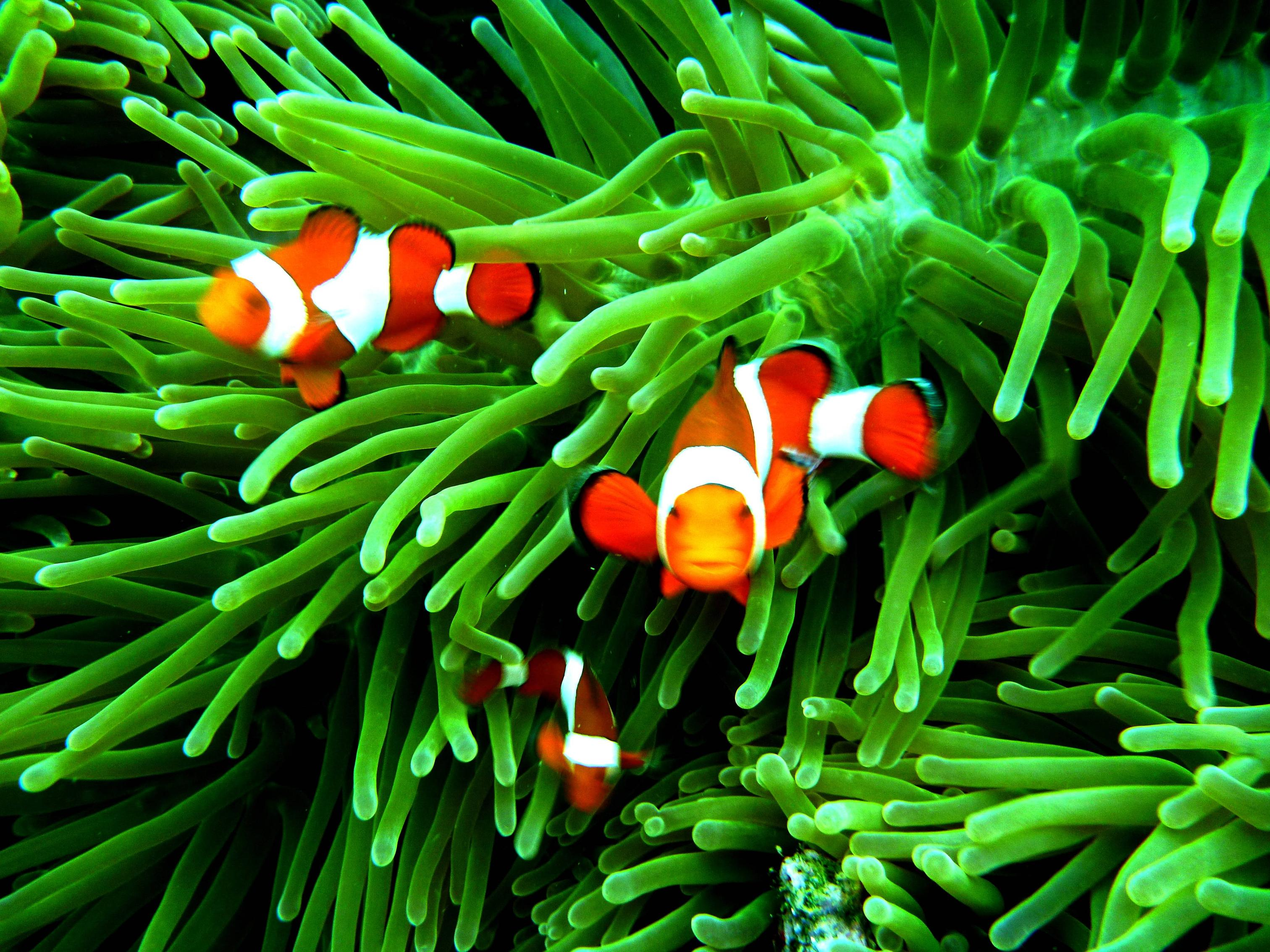 Clown Fish Hd Wallpaper Iphone 4 Iphone Clown Fish Wallpapers Group 58