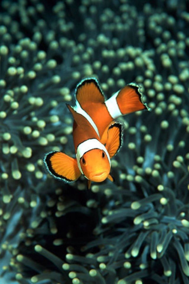Clown Fish Wallpaper Iphone 6 Plus Iphone Clown Fish Wallpapers Group 58