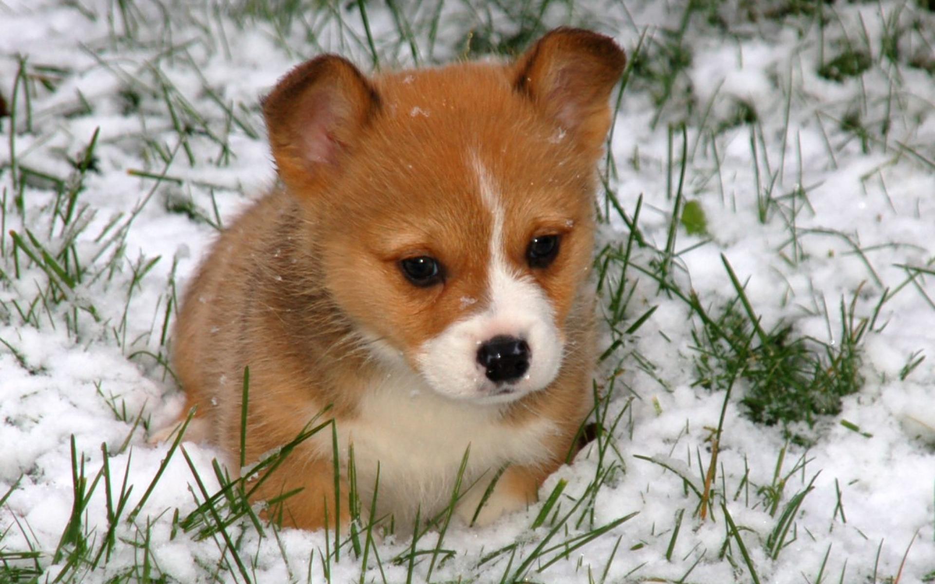 Cute Rottweiler Puppy Wallpaper Pupy Wallpaper Impremedia Net