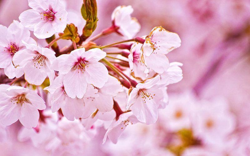 Sakura Blossom Wallpapers Group (74+) - cherry blossom animated