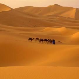 Camels in Desert Wallpaper