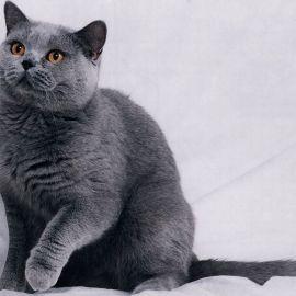 Gray Kitty Wallpaper