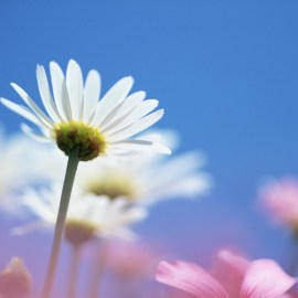 Pray with your petals Wallpaper