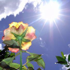 Rose in the sun Wallpaper