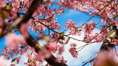 Cherry Blossom Desktop Wallpapers - Top Free Cherry Blossom Desktop Backgrounds - WallpaperAccess