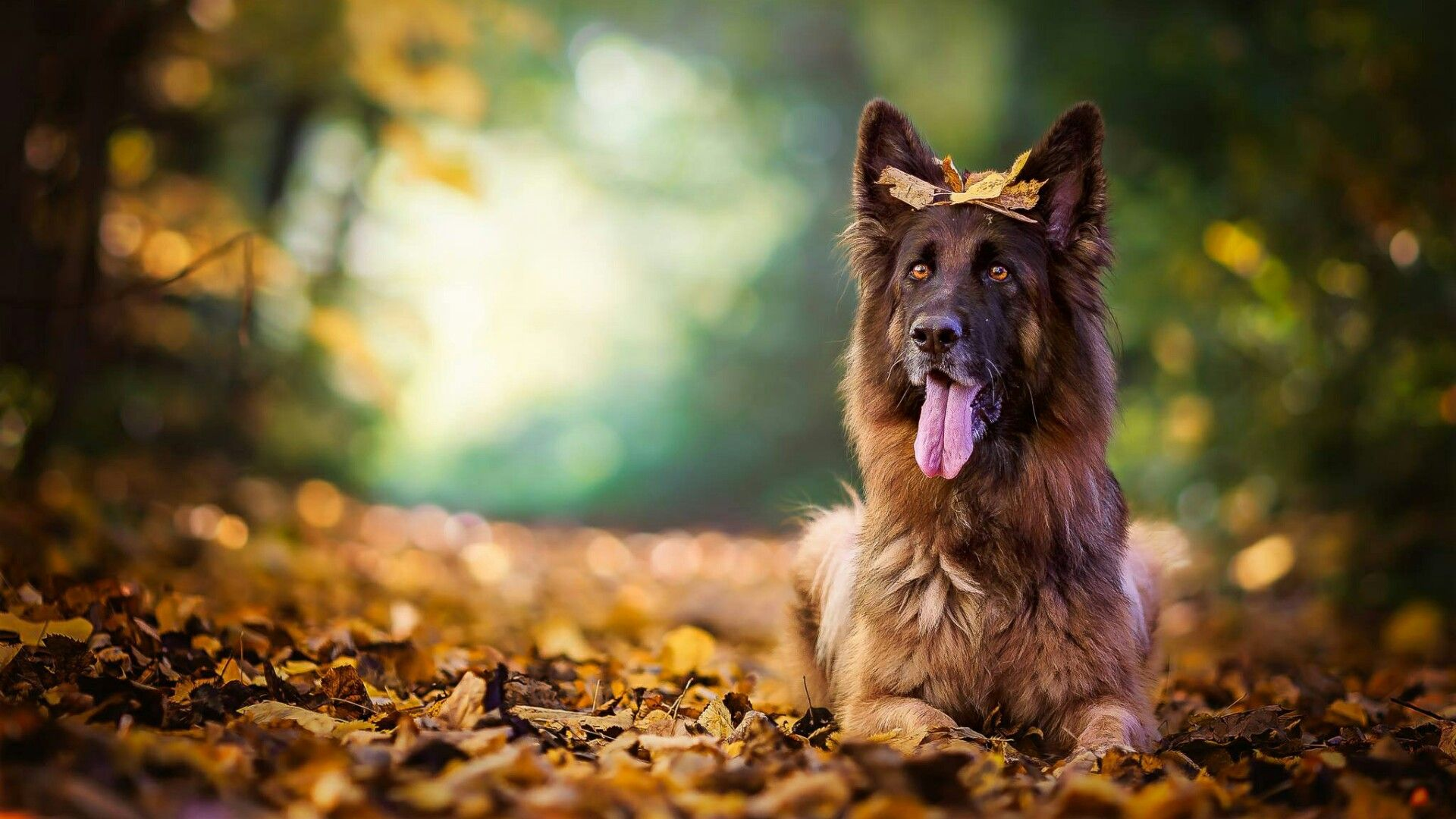 Cute Puppies Wallpapers With Quotes German Shepherd Dog Wallpapers Top Free German Shepherd