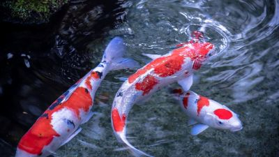 Live Koi Fish Wallpapers - Top Free Live Koi Fish Backgrounds - WallpaperAccess