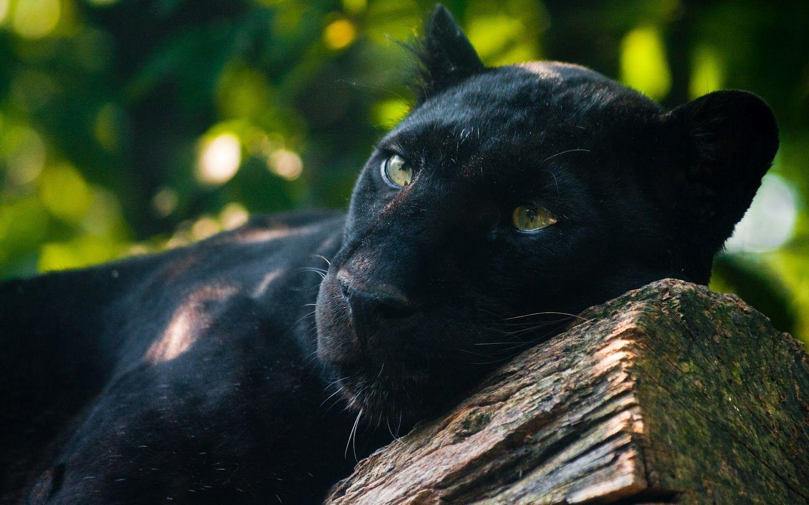 Animal Noir Black Jaguar Wallpapers Wallpaper Cave