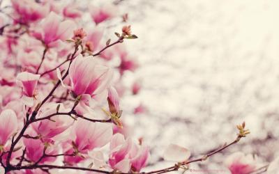 Magnolia Wallpapers - Wallpaper Cave
