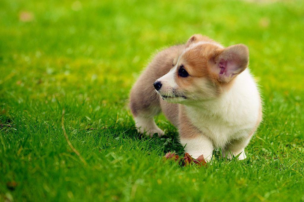 Cute Baby Puppy Pictures Wallpaper Corgi Wallpapers Wallpaper Cave