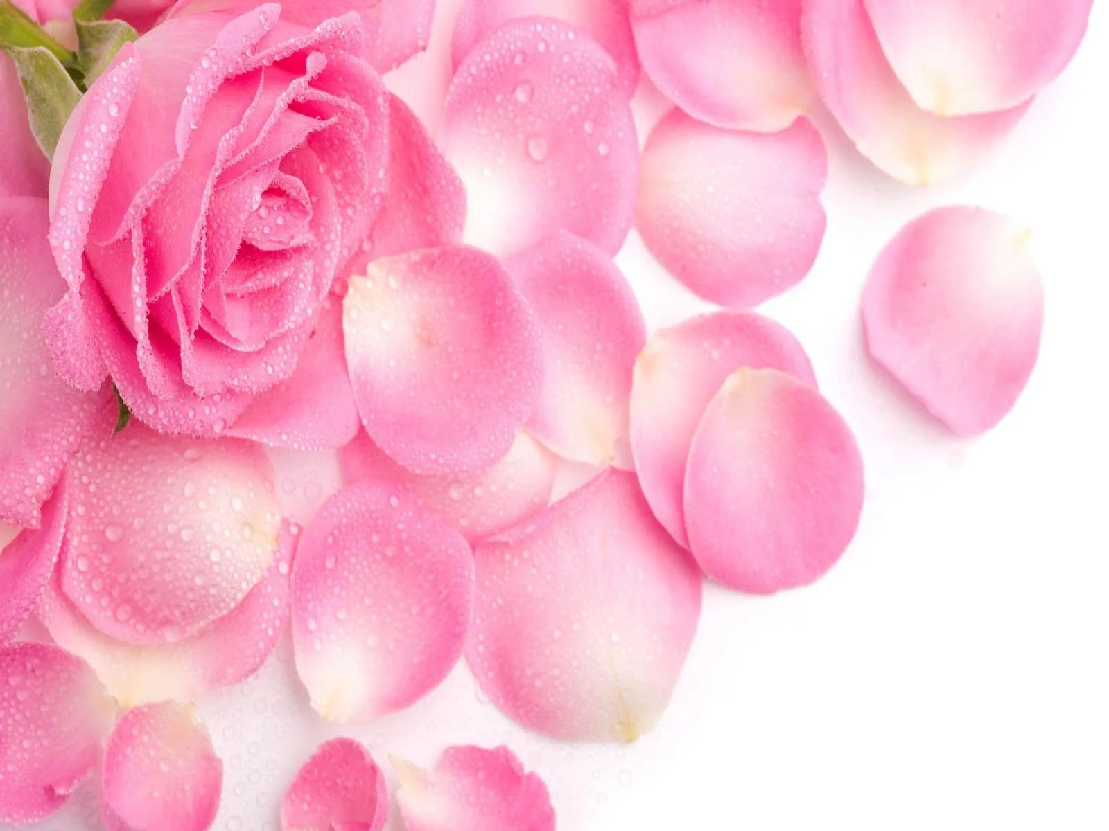 Rosa Pink Pink Rose Flower Wallpapers Wallpaper Cave