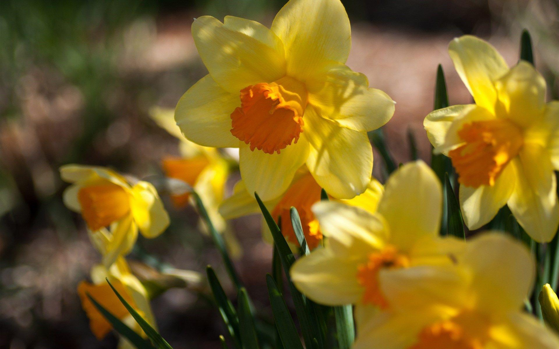 Daffodils Wallpaper Hd Daffodil Wallpapers Wallpaper Cave