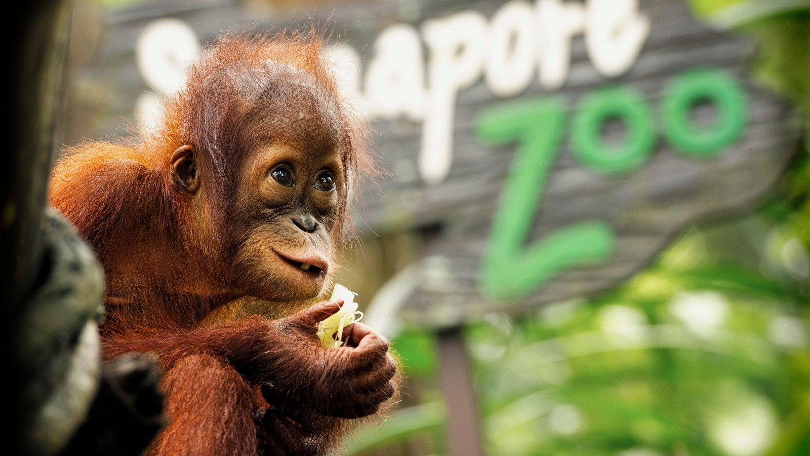 Cute Monkey Wallpaper Desktop Orangutan Wallpapers Wallpaper Cave