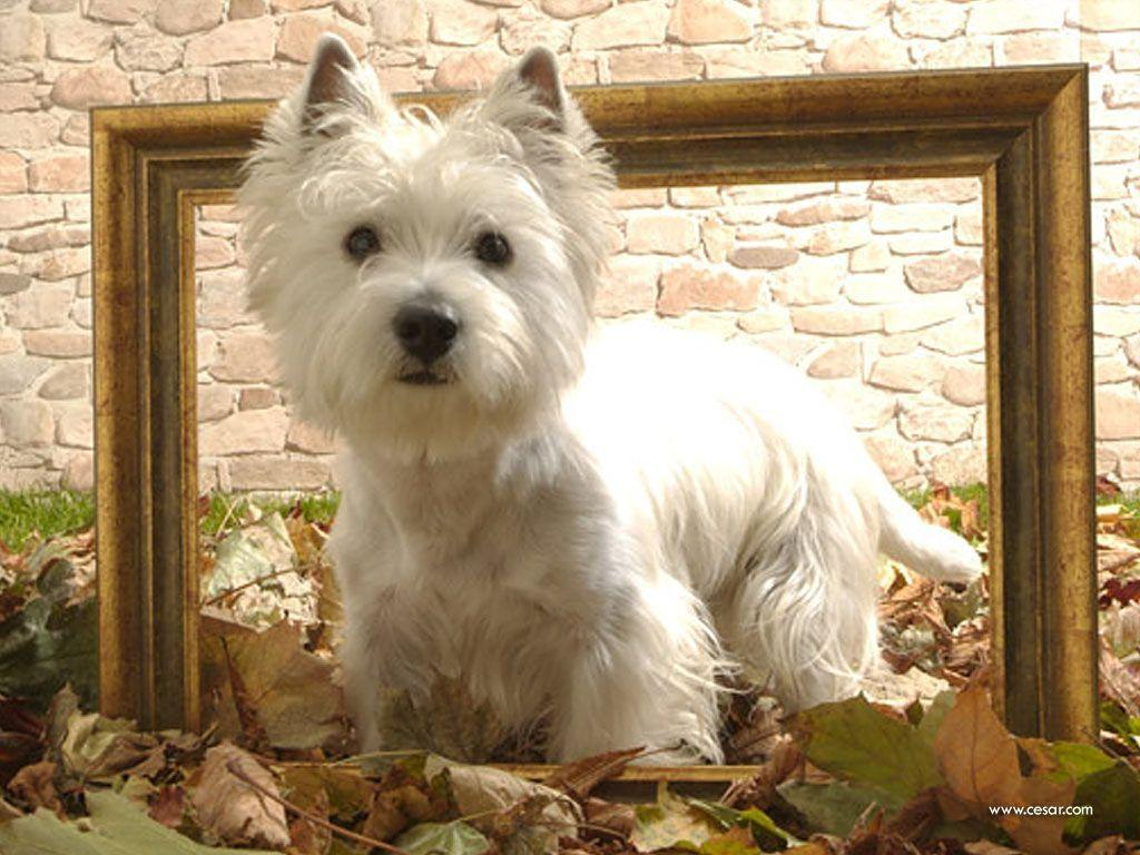 Cute White Dogs Wallpapers Westie Wallpapers Wallpaper Cave