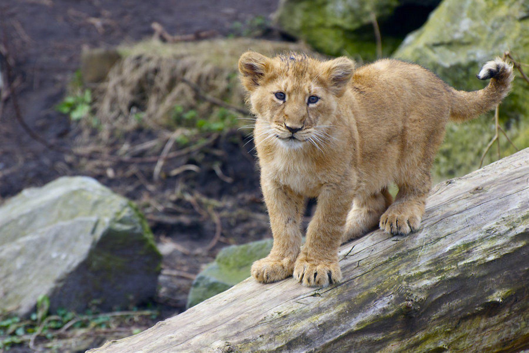 Cute Cubs Wallpaper Lion Cub Wallpapers Wallpaper Cave