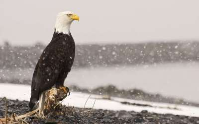 Free Bald Eagle Wallpapers - Wallpaper Cave