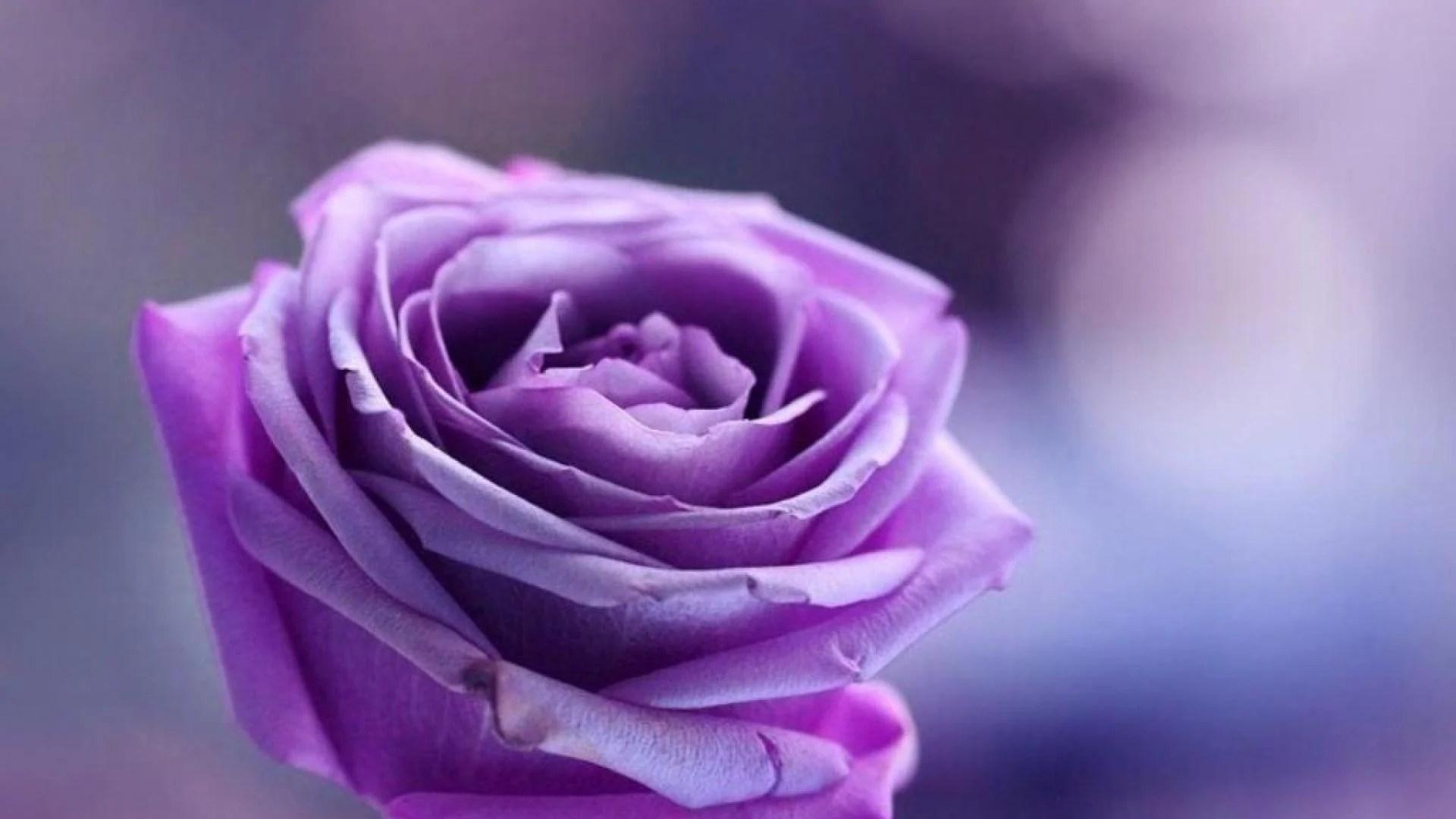Free Wallpapers Wid Quotes Purple Roses Wallpaper Tumblr Www Pixshark Com Images