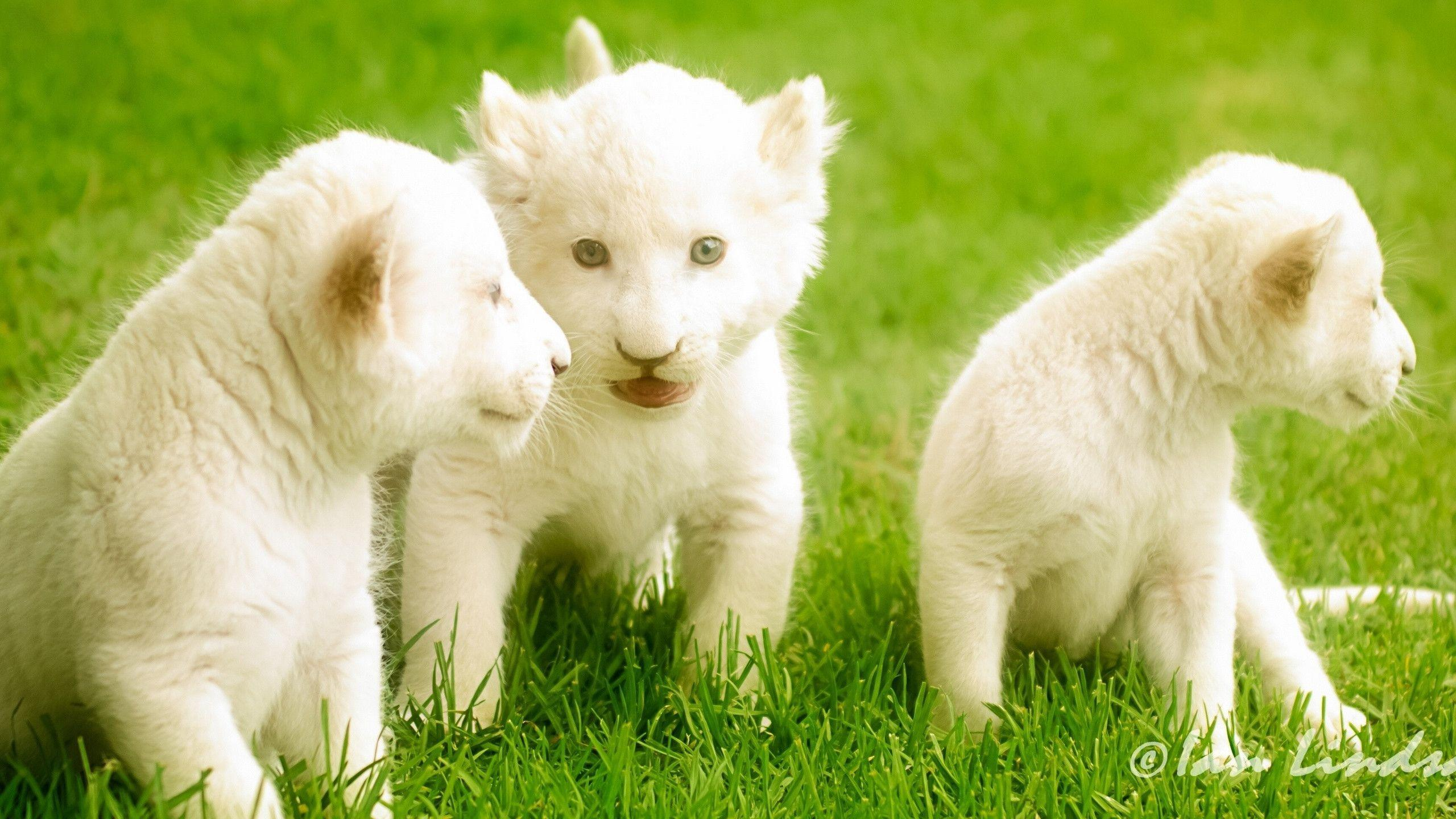 Cute Lion Cubs Hd Wallpapers White Lion Wallpapers Wallpaper Cave
