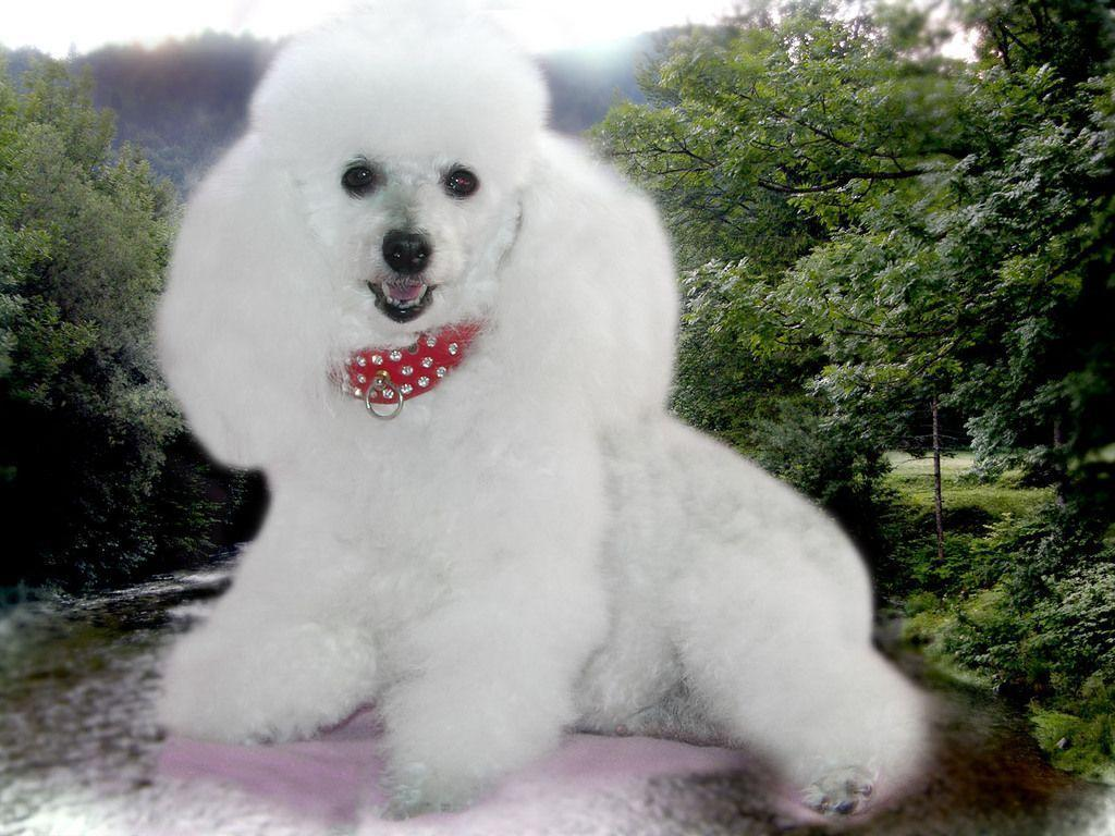 Cute Dogs Full Hd Wallpapers Poodle Wallpapers Wallpaper Cave