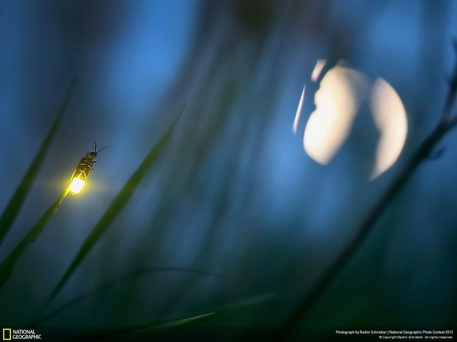 Firefly Insect At Night Fireflies Wallpapers Wallpaper Cave