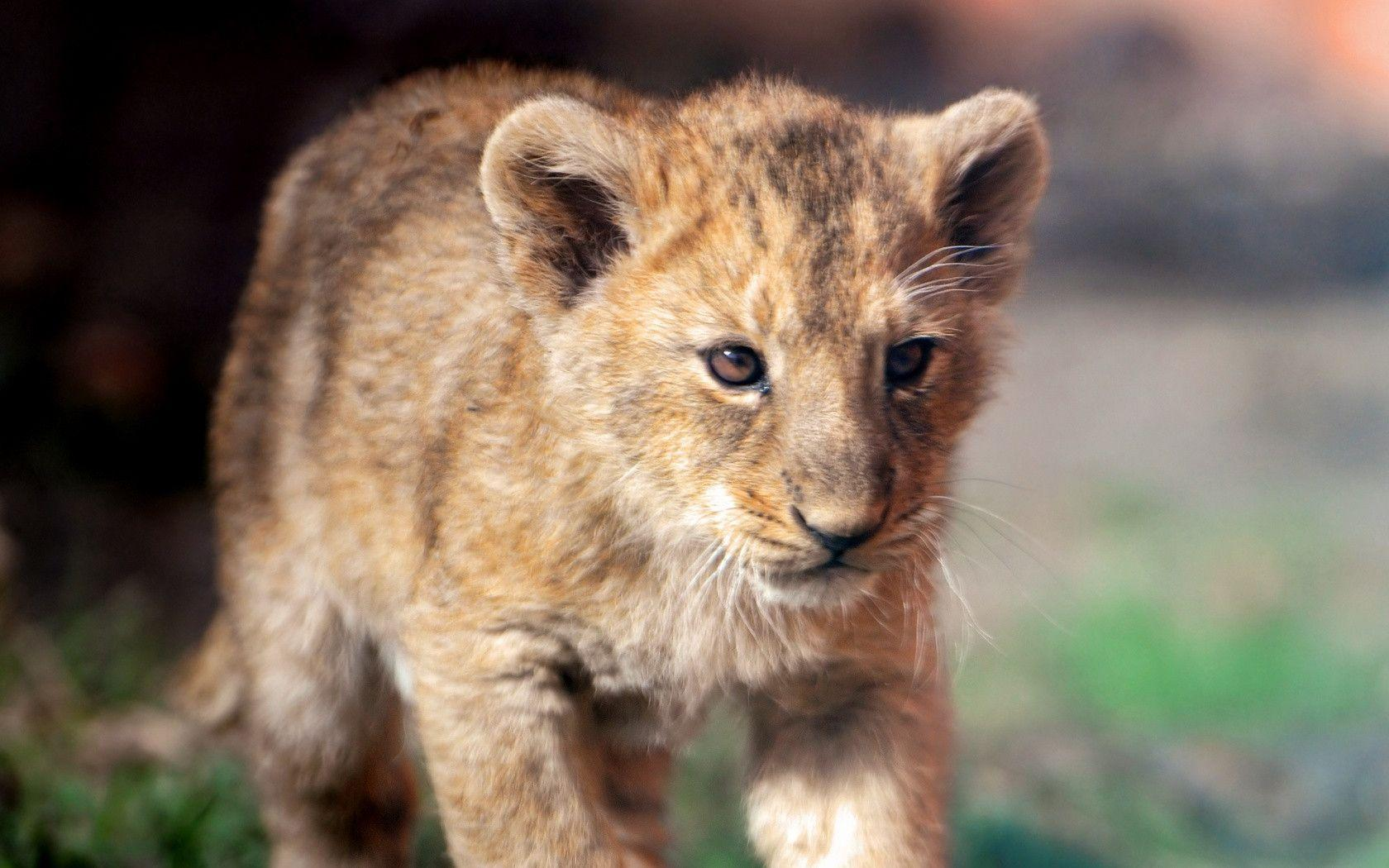 Cute Lion Cubs Hd Wallpapers Lion Cub Wallpapers Wallpaper Cave