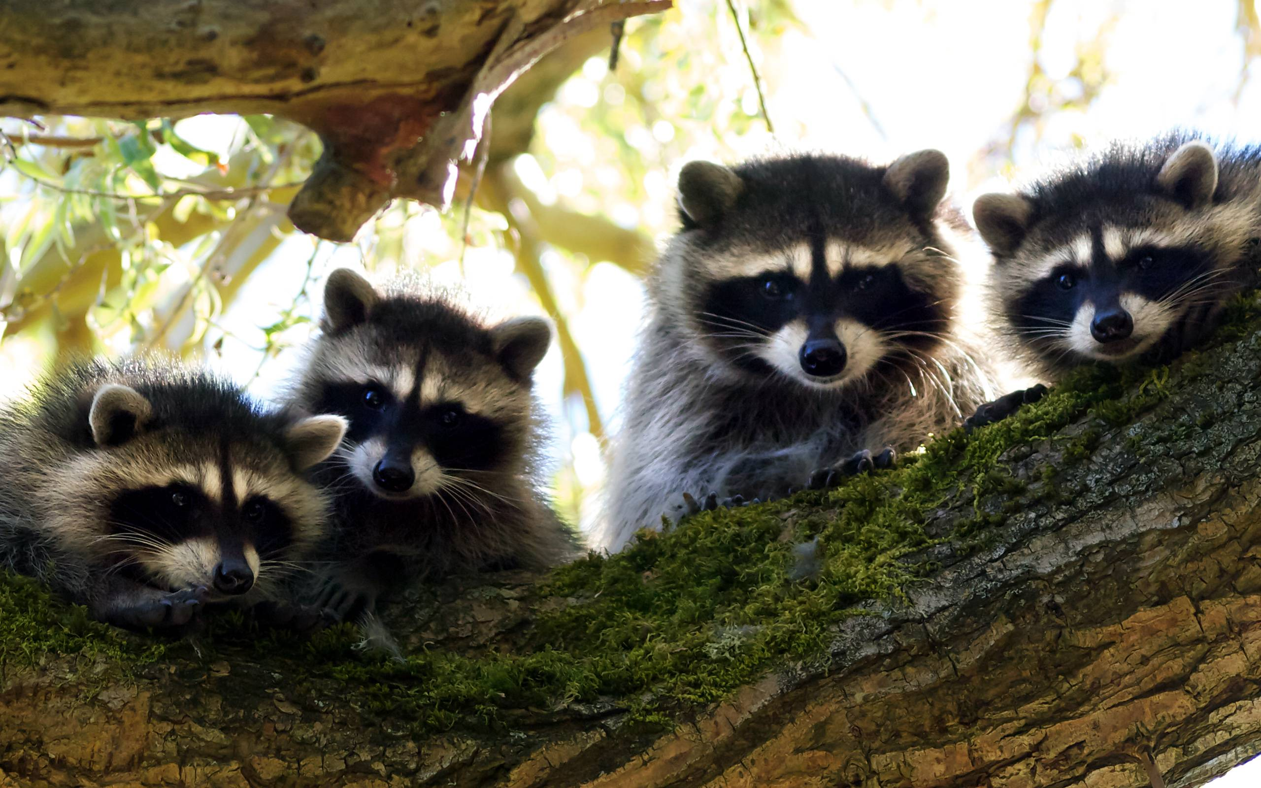 Mother Quotes Wallpapers Hd Raccoon Wallpapers Wallpaper Cave