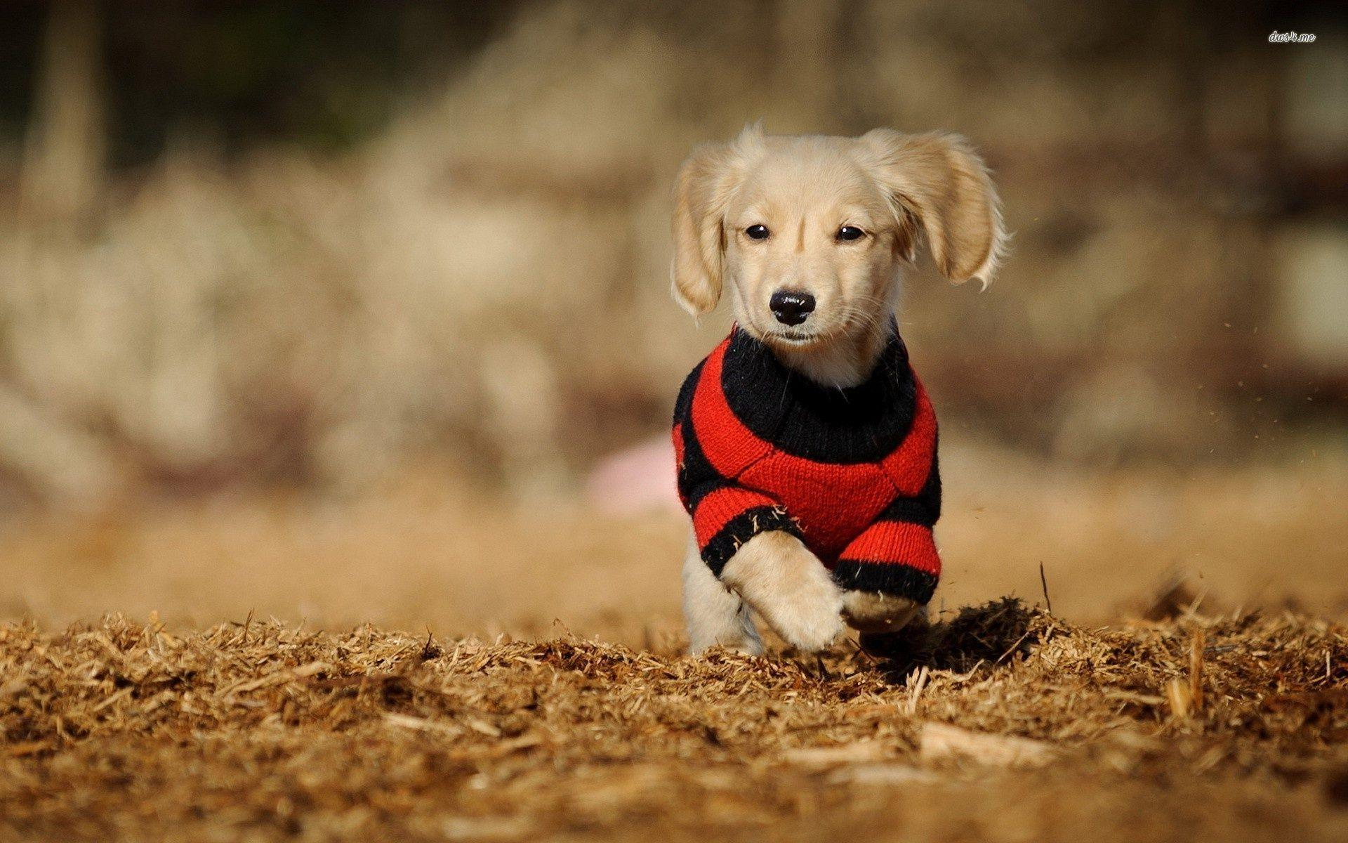 Fall Baby Animal Wallpaper Dachshund Wallpapers Wallpaper Cave