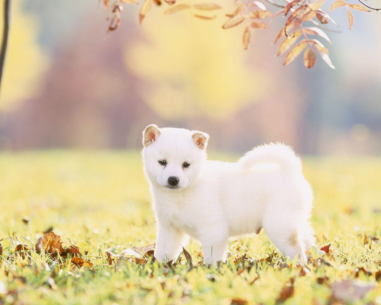 Cute Duck Wallpapers Shiba Inu Wallpapers Wallpaper Cave