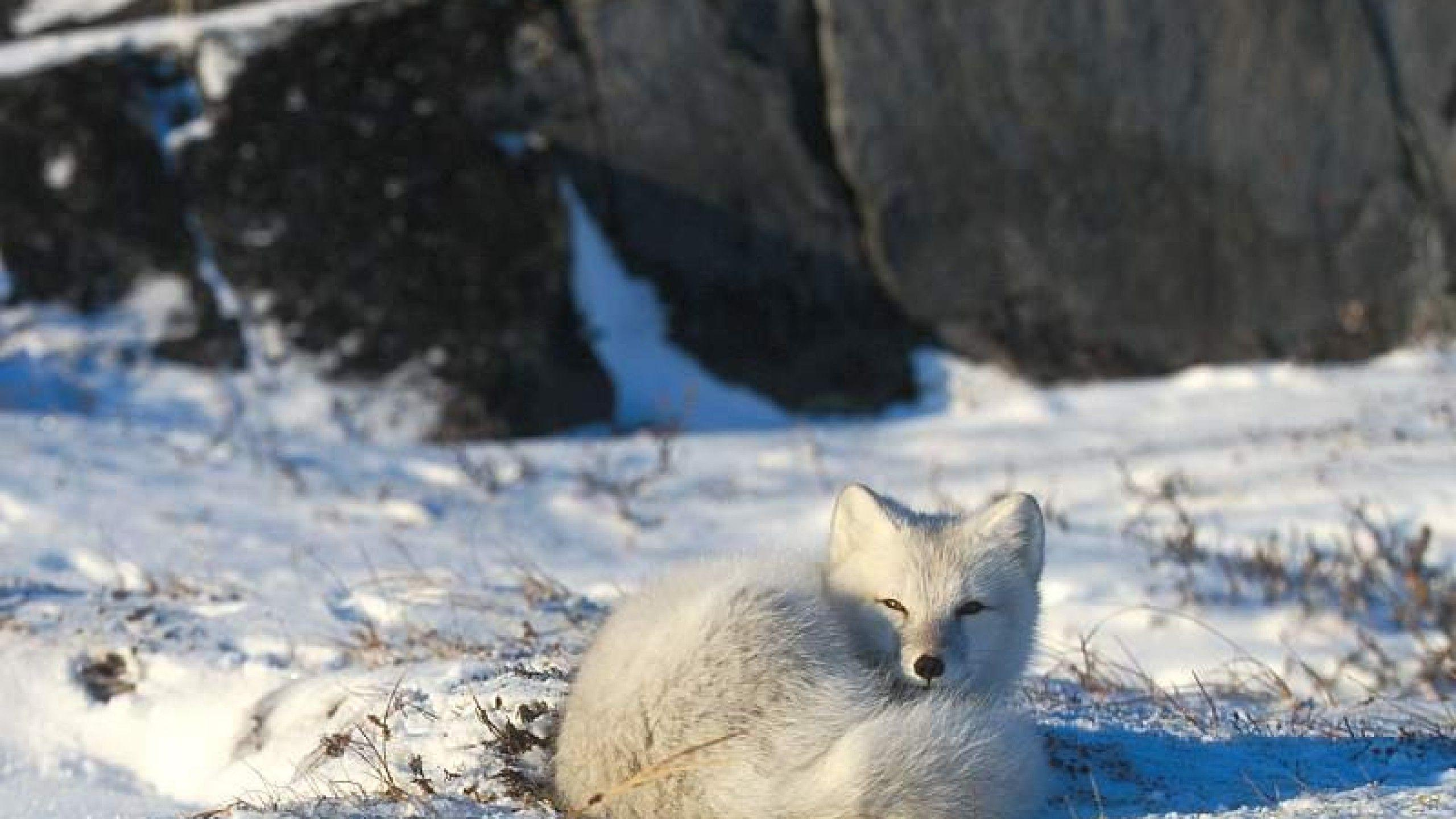 Awesome Cute Wallpapers For Android Arctic Fox Wallpapers Wallpaper Cave