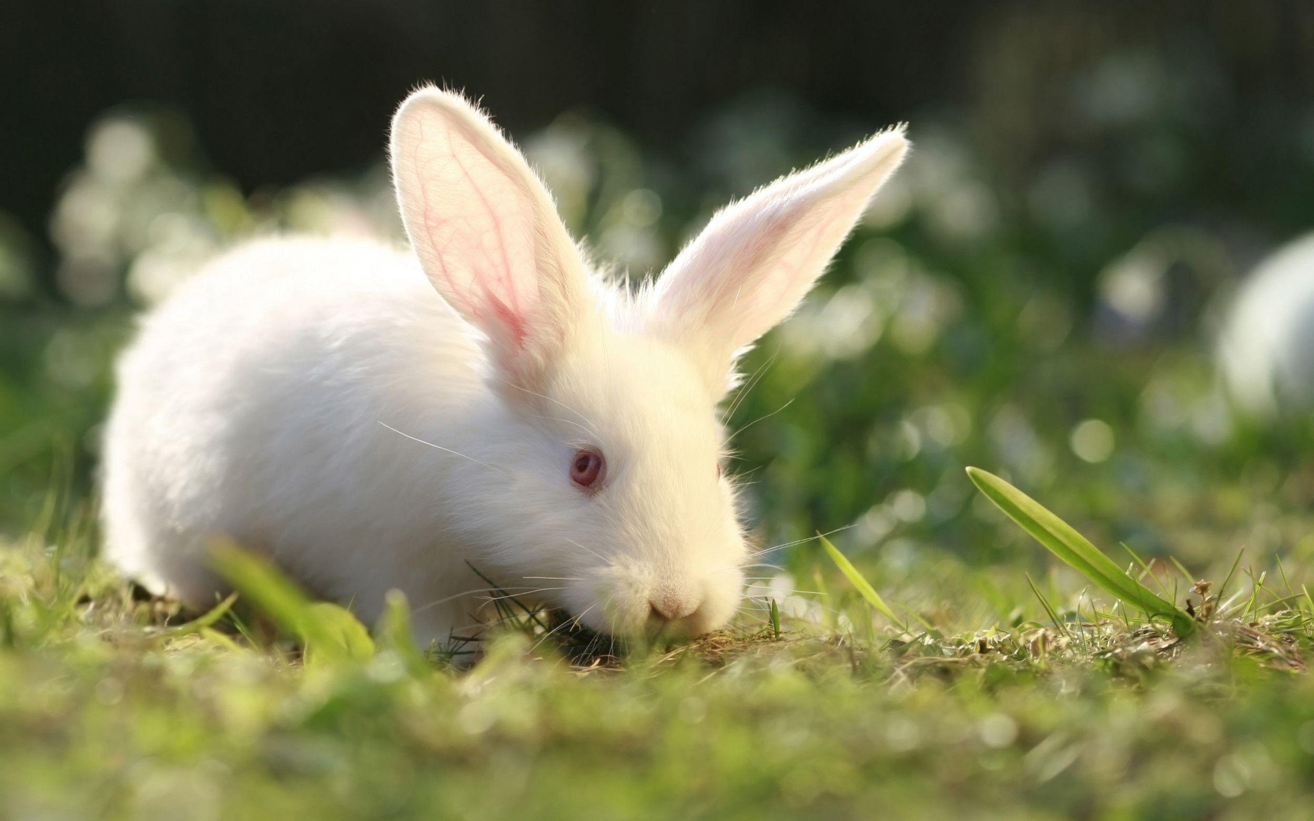 Cute Babies Hd Wallpapers 1366x768 White Rabbit Wallpapers Wallpaper Cave