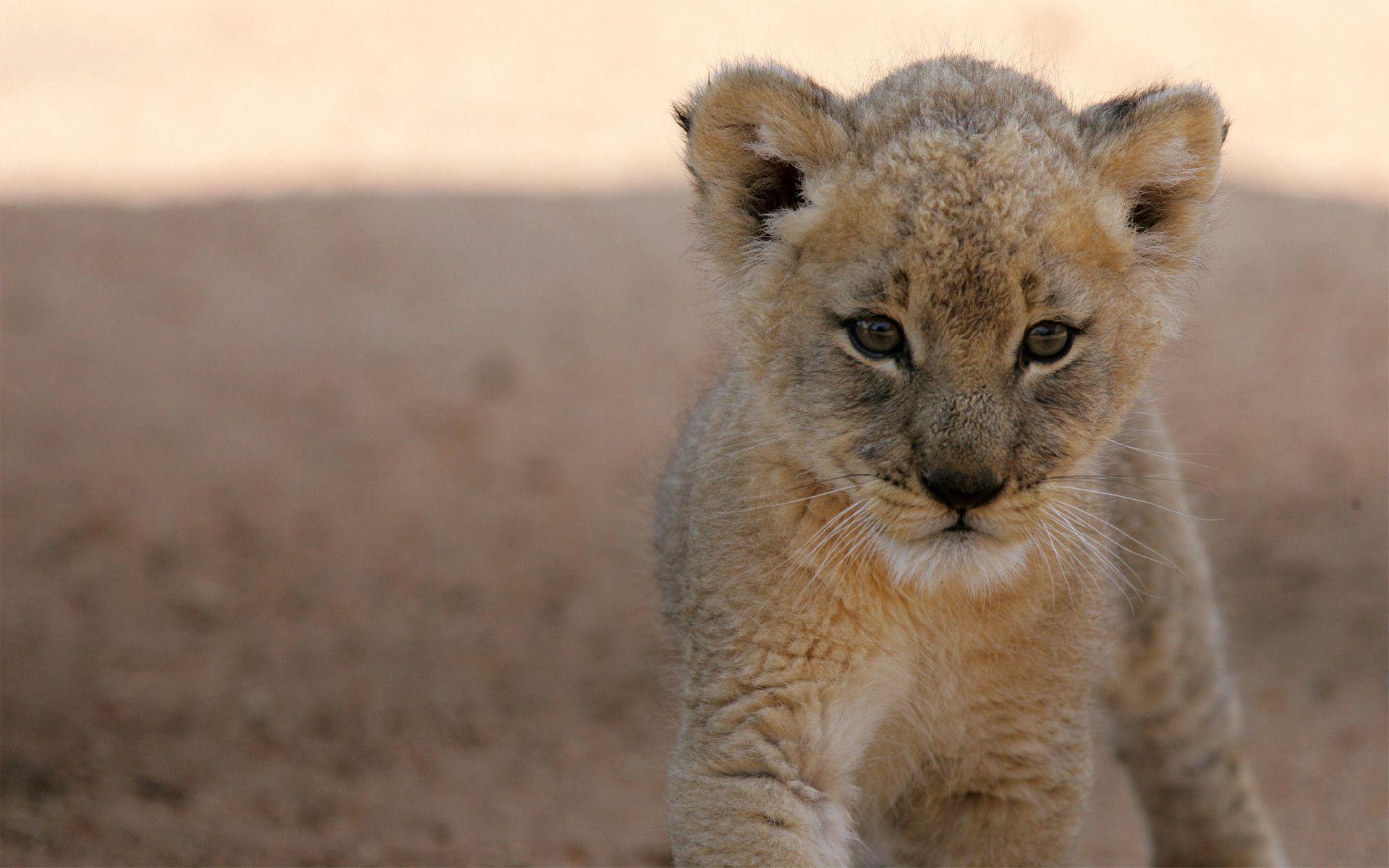 Cute Small Girl Full Hd Wallpaper Lion Cub Wallpapers Wallpaper Cave