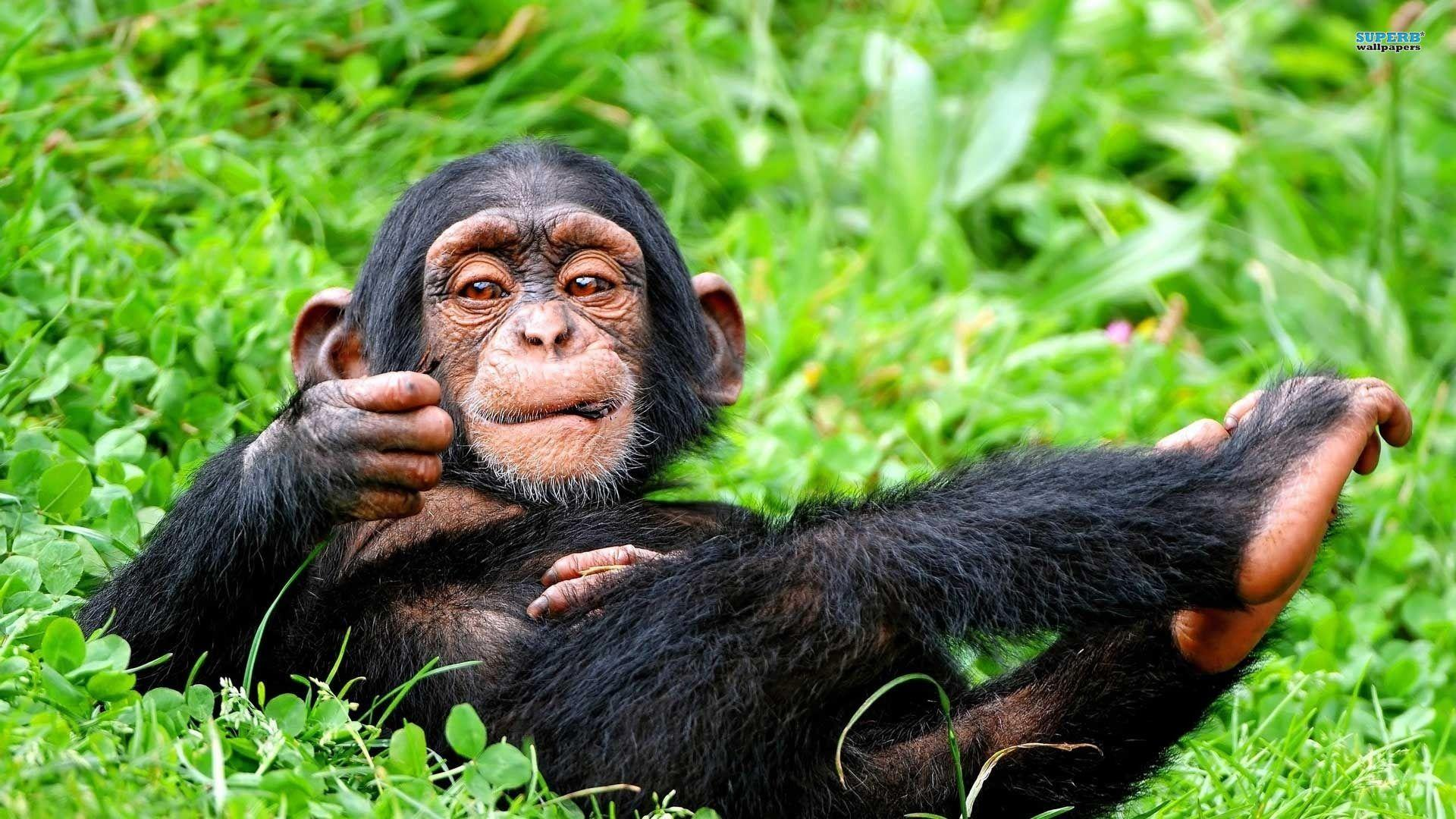Cute Wallpapers For Phones Animated Chimpanzee Wallpapers Wallpaper Cave