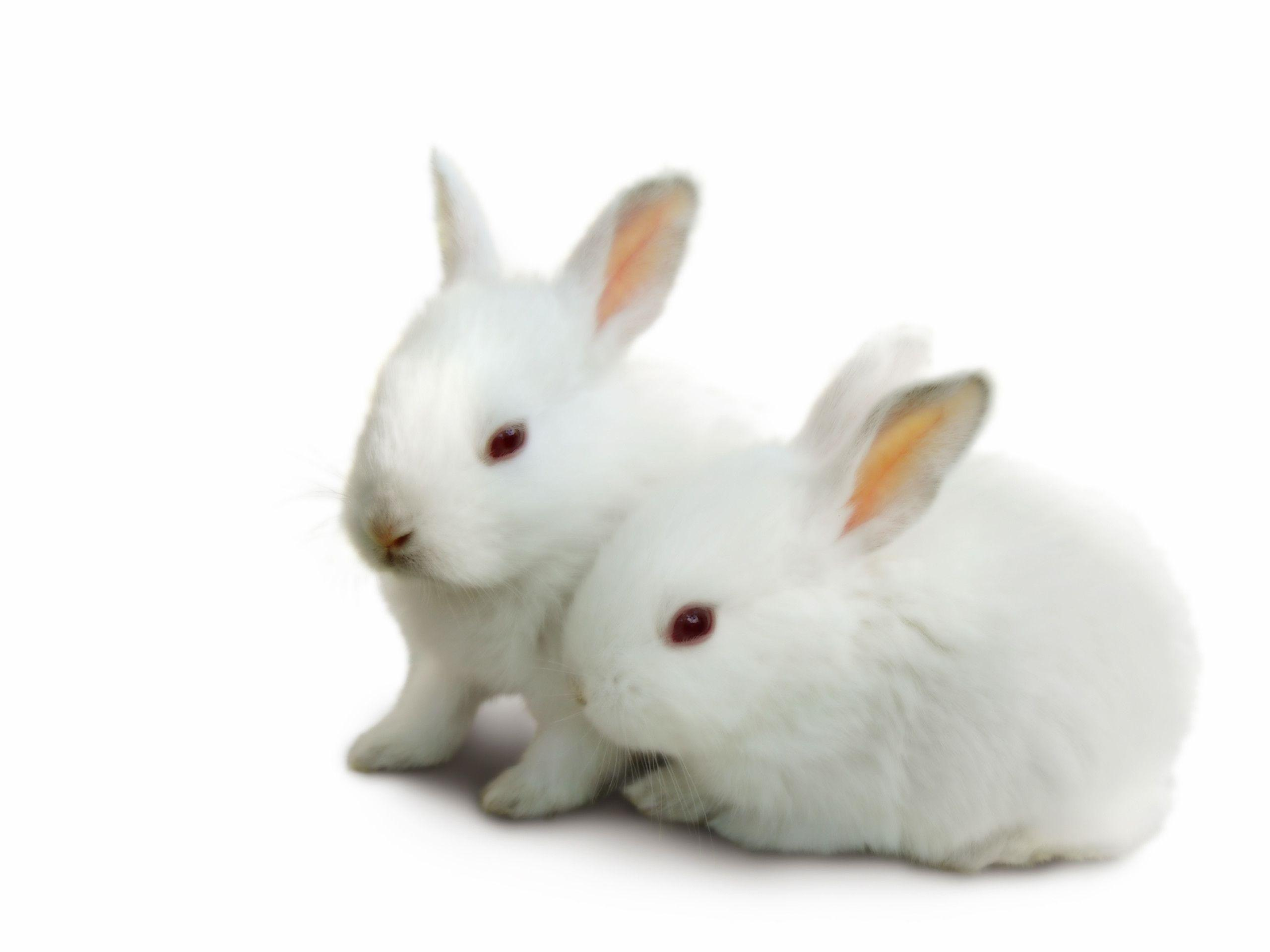 Cute White Baby Rabbits Wallpapers Baby Bunny Wallpapers Wallpaper Cave