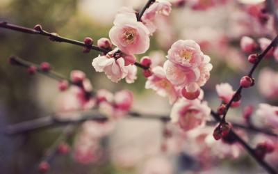 Cherry Blossom Desktop Backgrounds - Wallpaper Cave
